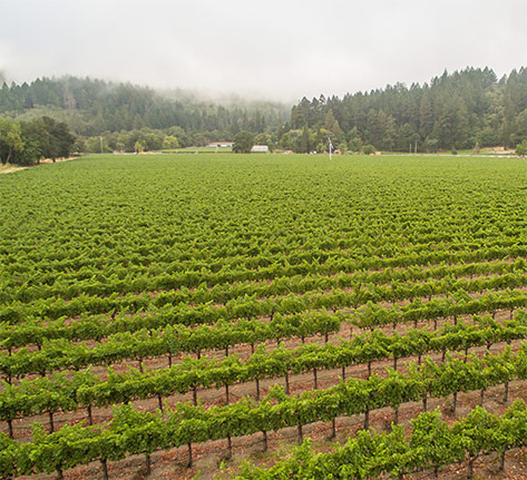 Calistoga Vineyard
